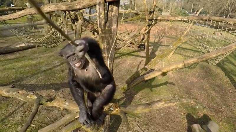 chimpancé derriba un dron
